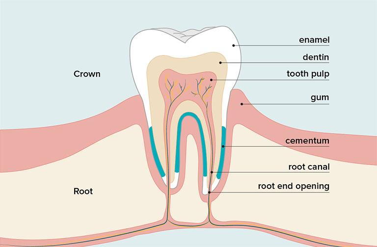 Tủy răng là gì