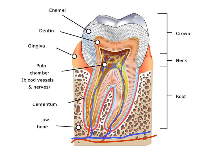 cấu tạo tủy răng