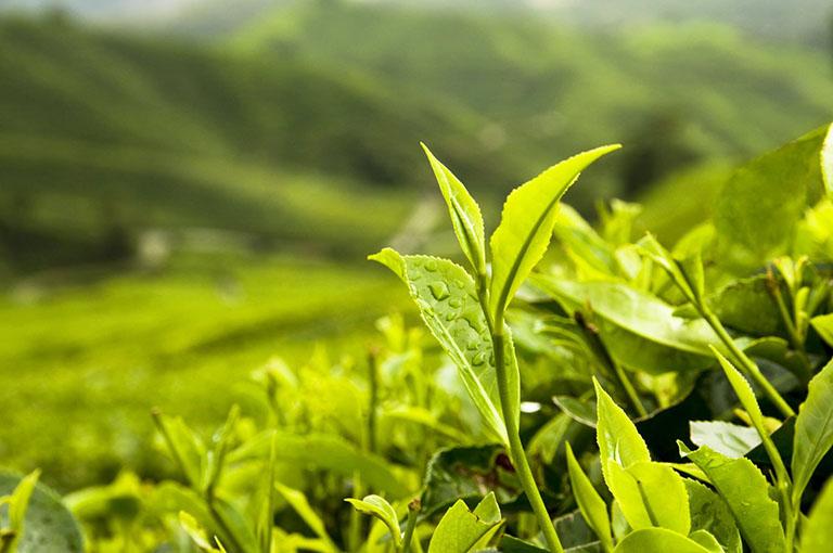 cách làm trắng răng bằng bột trà xanh